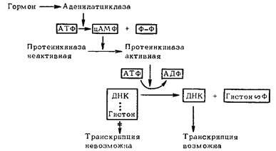 Хромосома  Википедия