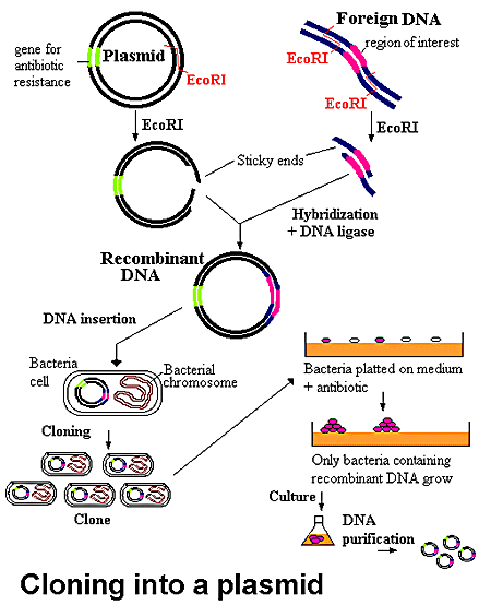 gene cloning methodology of dna Gene cloning irdl cloning: modifying the gene history applications methodology gene therapy enzymatic roles in dna processes.